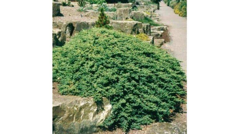 Sövényként is használható örökzöld cserjék